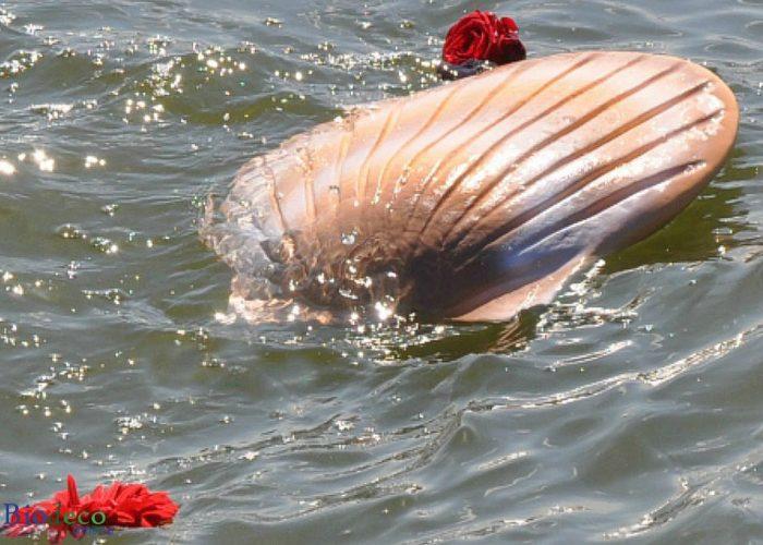 De biologisch afbreekbare zee-urn Schelp in de kleur zand, asbijzetting in de Noordzee, begeleidt door rode rozen als laatste groet